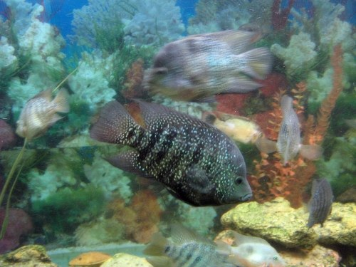 Free photos: Poissons d'aquarium