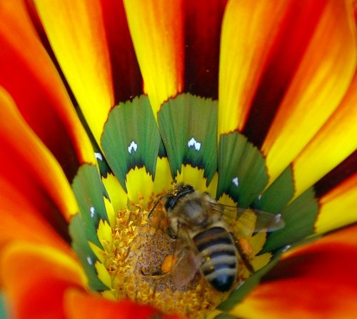 Free photos: Bee collecte polen