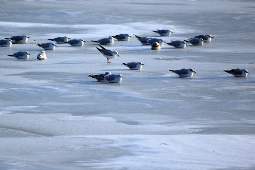 Birds on lake ice