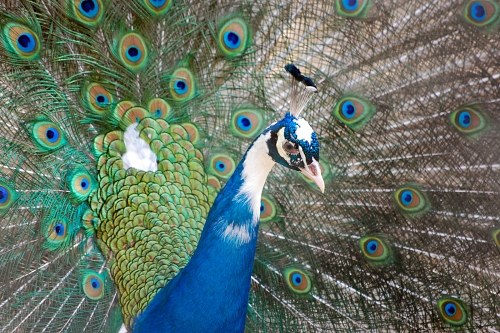 Blue male peacock
