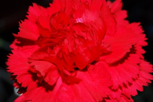 Free photos: Carnation