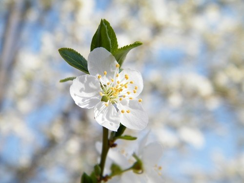 Free photos: Cherry Plum Flores