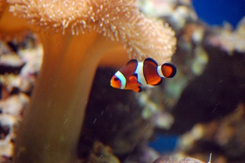 Free photos: Clown fish in coral reef