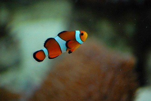 Free photos: Poisson clown en mer