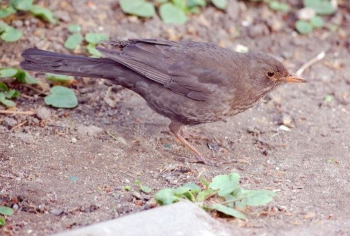 Common European blackbird female