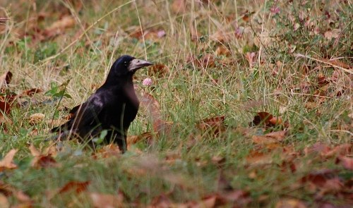 Crow on ground
