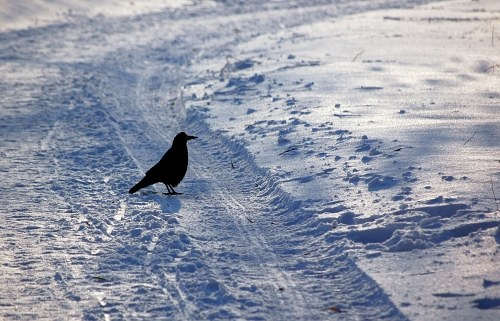 Crow on snow covered road