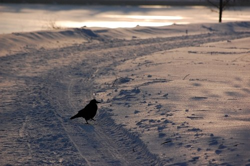 Free photos: Crow su strada innevate
