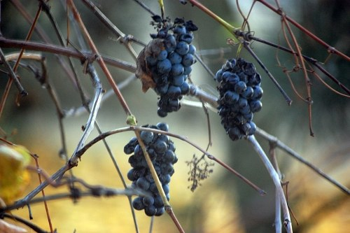 Free photos: Dry grapes