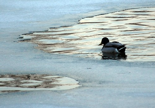 Duck on arctic lake