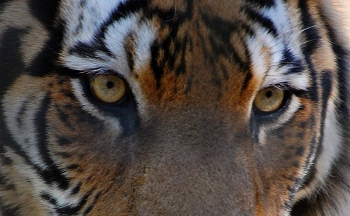 Free photos: Face of a tiger
