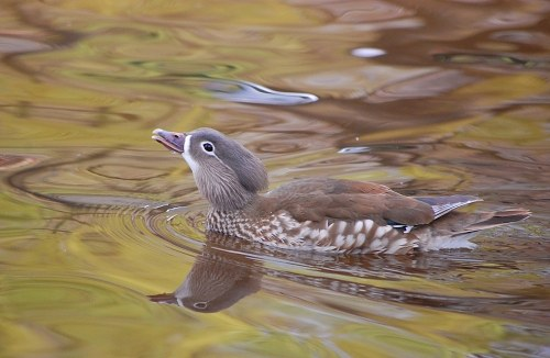 Female mandarin duck free photo