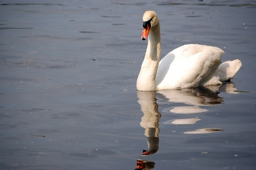 Gracious swan on lake