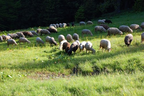 Grazing sheep herd