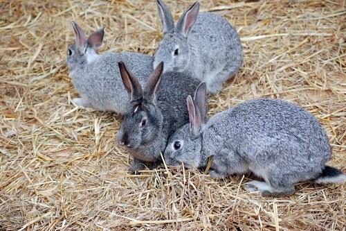 Grey rabbits in grass