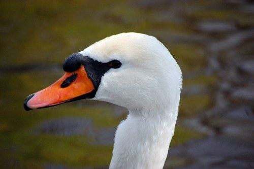 Free photos: Head of a white swan