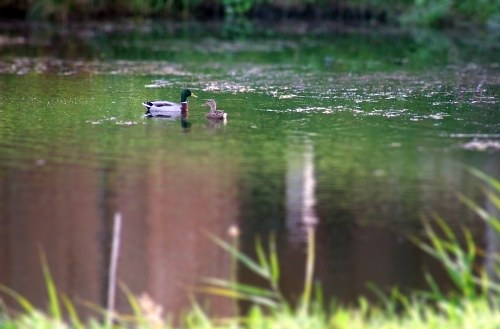 Mallards on pond during summer free photo