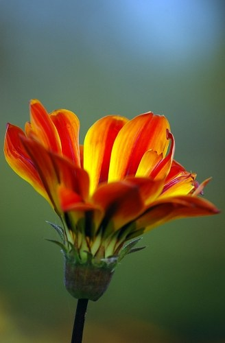 Free photos: Fiori d'Arancio