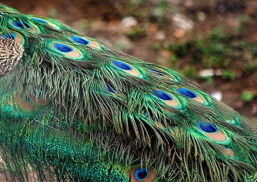 Peacock plumage free photo