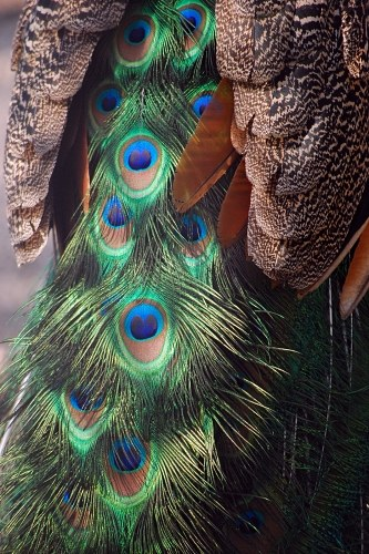 Free photos: Peacock tail feathers