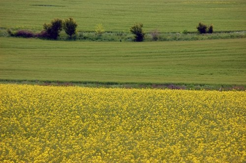 Rapeseed and wheat crops
