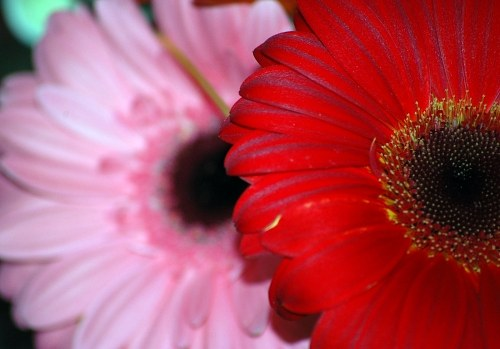Red and pink gerberas flowers