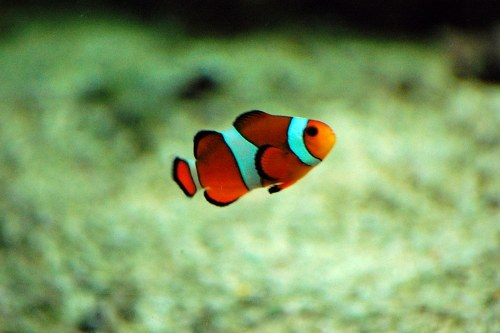 Grey fish swimming viewed from bottom of the sea alegri for Clown fish care