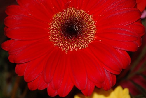 Red gerbera Blume