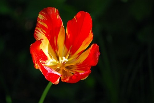 Red tulip with open corola