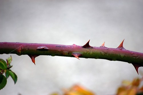 Rose thorns free photo