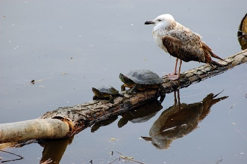 Seagull and two turtles