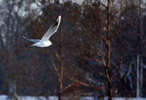 Free photos: Seagull in flight