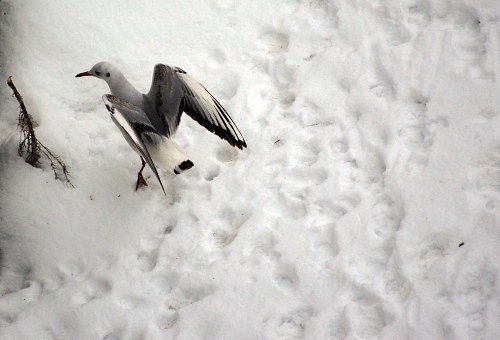 Free photos: Seagull landing in snow