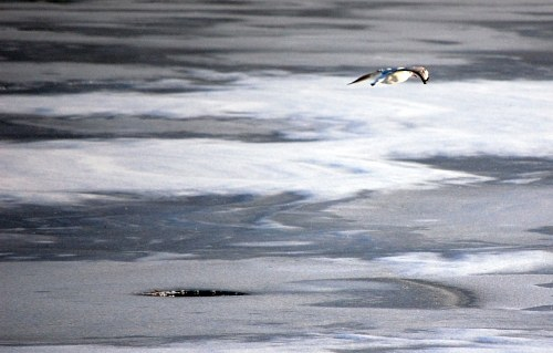 Seagull over frozen lake