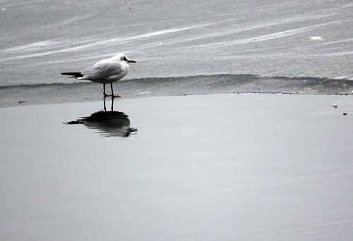 Seagull reflection in water