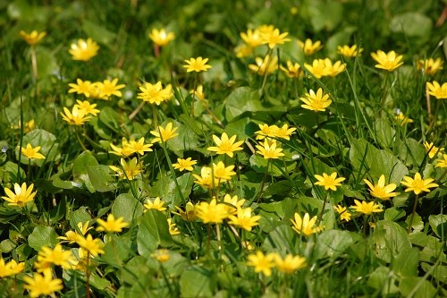 Small yellow flowers in grass