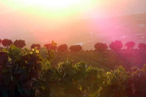 Sun rays over vineyard