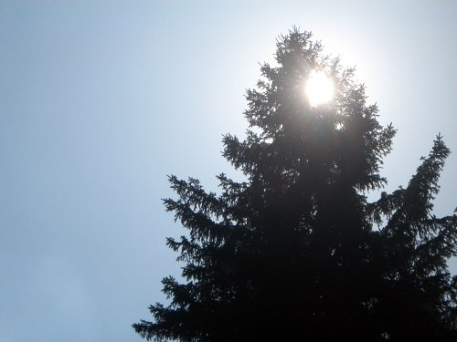 Sun shining behid a fir tree