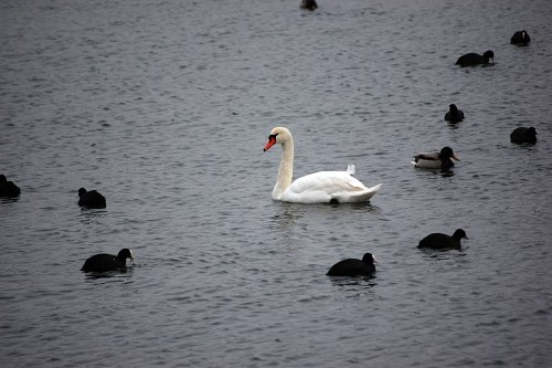 Swan and ducks on lake