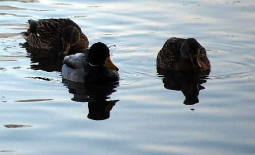 Three ducks on water