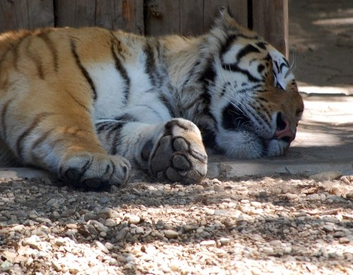 Tiger sleeping on ground