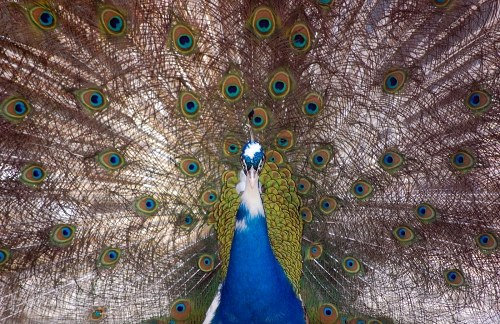 Vibrant color feathers on peacock