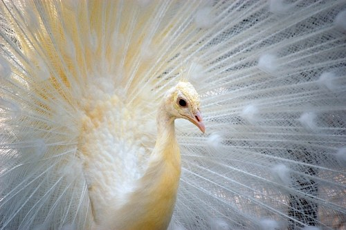 Free photos: White feathered peacock
