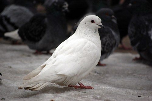 White pigeon free photo