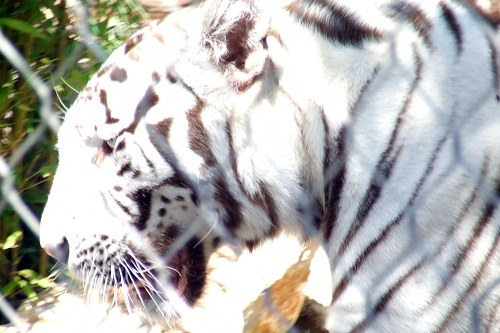 White tiger at zoo