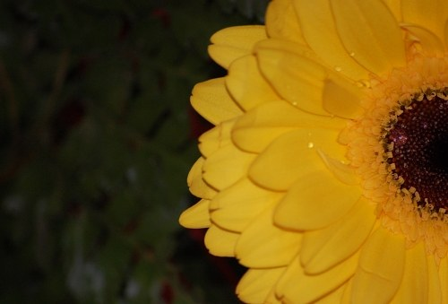 Yellow gerbera corola