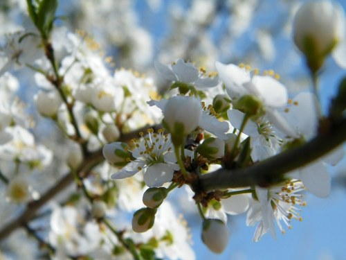 cherry plum flower